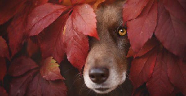 15 Καταπληκτικά Πορτρέτα Σκύλων που απολαμβάνουν το Φθινόπωρο. Το 4ο είναι Σκέτη Μαγεία!