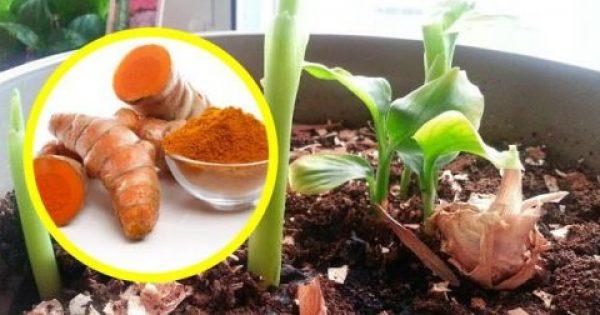 Δείτε πως να καλλιεργήσετε κουρκουμά στο σπίτι σας! Είναι πολύ καλύτερο από αυτό του εμπορίου!