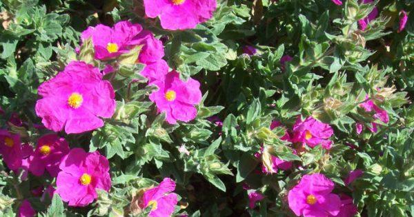 Σώζει ζωές: Το φυτό των θεών που θεραπεύει το δέρμα και προλαμβάνει τον καρκίνο!
