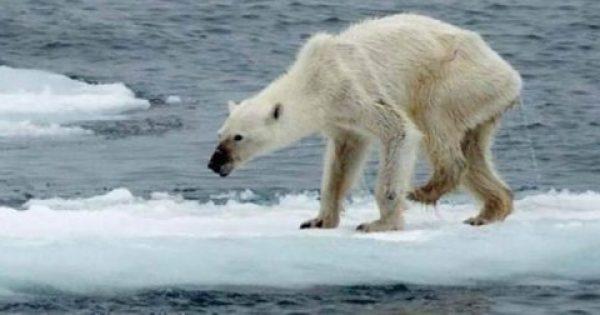 Η τραγική εικόνα μίας πολικής αρκούδας μαρτυρά το μέλλον