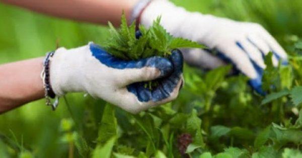 Η τσουκνίδα :Το φυτό με τις 60 διαφορετικές θεραπείες που θα πρέπει να γνωρίζετε …