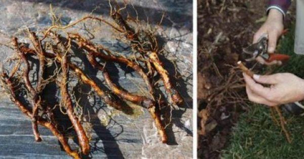 Πολλαπλασιάστε τα Φυτά σας με Μοσχεύματα Ρίζας – Τι είναι και Πώς να το Κάνετε
