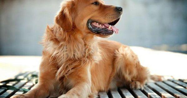Σκύλοι-οδηγοί τυφλών: Οι δεξιότητές τους και ο σκοπός τους