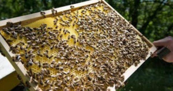 Φυτοφάρμακα που συνδέονται με τον θάνατο μελισσών βρέθηκαν στα πιο πολλά δείγματα μελιών