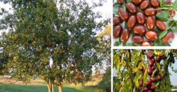 Τζιτζιφιά – Οι θαυμαστές ιδιότητές της που την έχουν κάνει γνωστή σαν δέντρο γιατρός