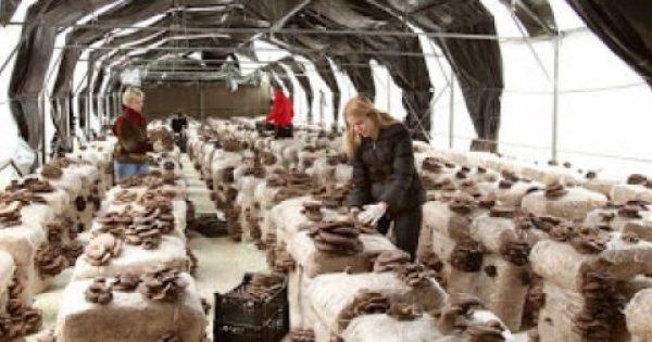 Τι πρέπει να ξέρουμε πριν αγοράσουμε καλλιεργημένα μανιτάρια