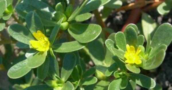 Γλυστρίδα… η θαυματουργή: Ένα αρχαίο θεραπευτικό φυτό με πλούσιες ιδιότητες