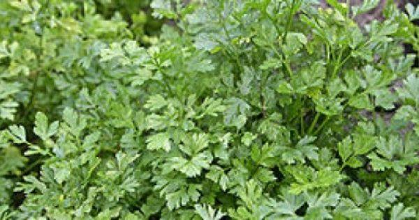 Το γνώριζες; Αυτό είναι το βότανο που νοστιμεύει το φαγητό μας και προστατεύει από καρκίνο και διαβήτη!