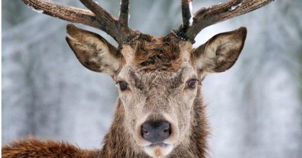 """Νέα «νόσος των τρελών αγελάδων»: Τι είναι η ασθένεια """"ελάφι ζόμπι"""" – Καμπανάκι από Καναδούς επιστήμονες!"""
