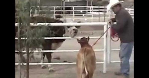 Αγελάδα δε σταματά να κλαίει από όταν την χώρισαν από το μωρό της – Δείτε την αντίδρασή της όταν επανασυνδέονται [Βίντεο]