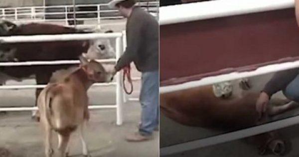 Μωρό αγελάδας λιποθυμάει από την χαρά του όταν επανασυνδέεται με την μητέρα του