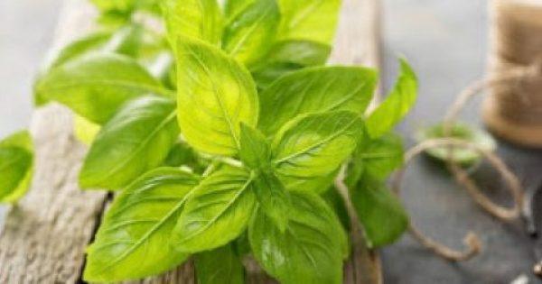 Βασιλικός: Ένα απίστευτα θεραπευτικό βότανο για πάσα νόσο