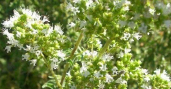 Μαγικό γιατροσόφι της γιαγιάς: Ρίγανη, η ισχυρότερη πανάκεια της φύσης!