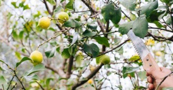 Το κλάδεμα της λεμονιάς