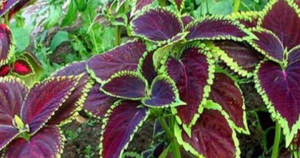 Aπίστευτες ΘΕΡΑΠΕΥΤΙΚΕΣ ιδιότητες! Το βότανο που δεν πρέπει να λείπει από κανένα σπίτι…