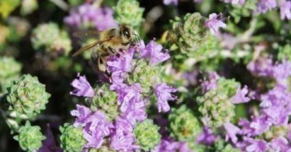 «Θαυματουργό βότανο» στο ελαιόλαδο που δρα εναντίον των καρκίνων του πνεύμονα, του στόματος και των ωοθηκών!