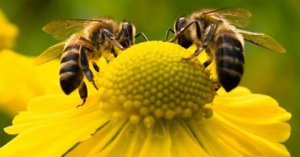 H πρόπολη, ο βασιλικός πολτός, η γύρη, ακόμη και το δηλητήριο των μελισσών, όλα έχουν ισχυρές θεραπευτικές ιδιότητες. Eκμεταλλευτείτε τις.