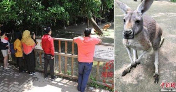 Καγκουρό πέθανε από τουρίστες που του πετούσαν πέτρες για να το αναγκάσουν να πηδήξει και να βγάλουν σέλφις