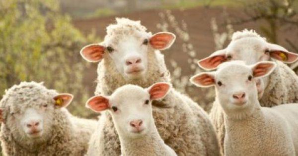 Η σκλήρυνση κατά πλάκας συνδέεται με τα πρόβατα