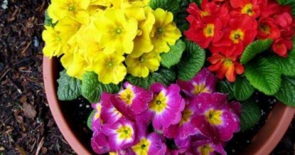 Τι βότανο είναι η πρίμουλα που πωλείται 50.000 ευρώ το κιλό
