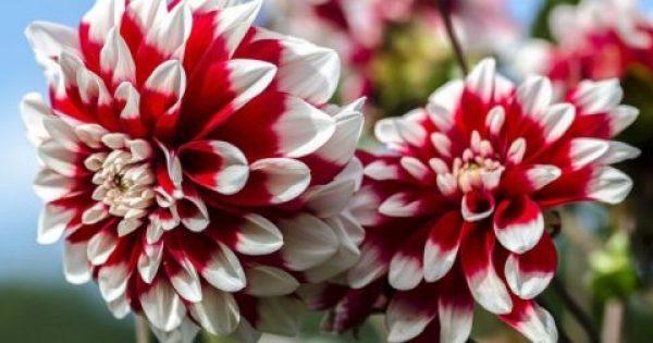Τα 10 ωραιότερα λουλούδια στον κόσμο