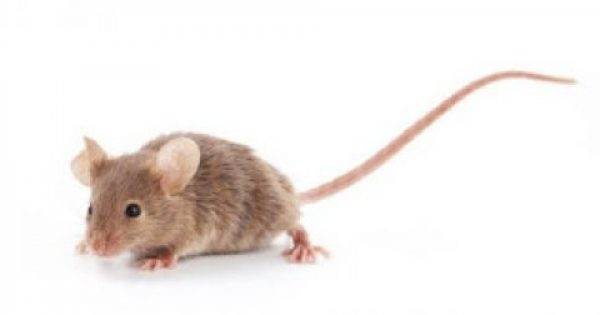 Γιατί τα ποντίκια αφήνουν τόσες πολλές ακαθαρσίες πίσω τους;