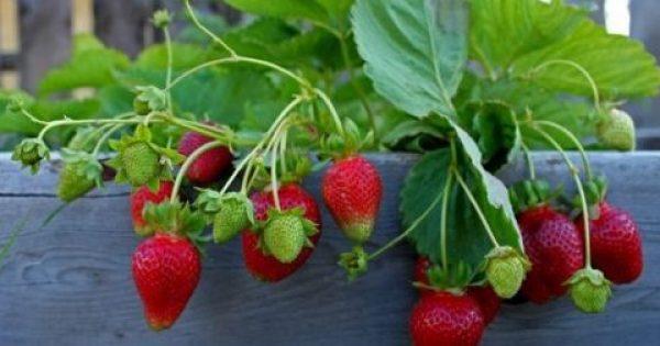 Καλλιεργώ το πιο φορτωμένο σε φυτοφάρμακα φρούτο: Το «ξύπνημα» της φράουλας