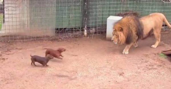 Άφησαν 2 Κουτάβια μέσα στο κλουβί με το λιοντάρι. Δείτε την αντίδραση του λιονταριού που έγινε παγκόσμιο