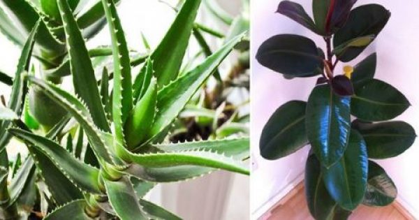 Αυτά τα φυτά είναι βόμβες οξυγόνου – Πάρτε τουλάχιστον ένα στο σπίτι σας