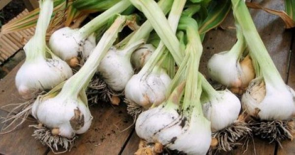 Σκόρδο: Θεραπευτικό για όλες σχεδόν τις ασθένειες