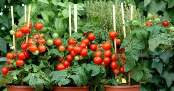 Ντοματίνια: Δώστε λίγο χώρο στο μπαλκόνι σας και καλλιεργείστε τα δικά σας ντοματάκια!