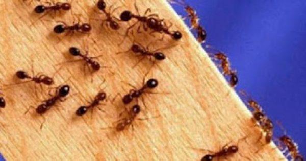 Έχετε μυρμήγκια στο σπίτι; Με αυτό το κόλπο δεν θα σας επισκεφτούν ποτέ ξανά