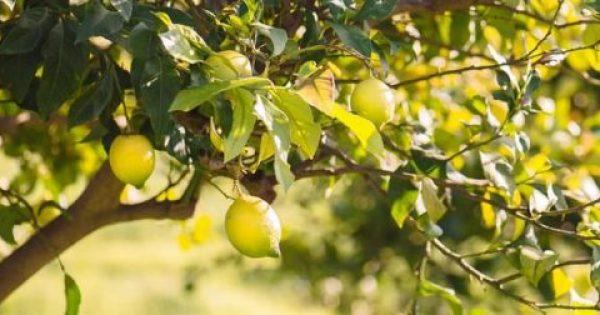 5 μυστικά για καλλιέργεια λεμονιάς