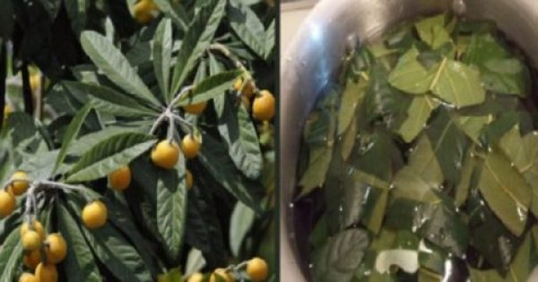 Φύλλα Μουσμουλιάς – Οι Μυστικές Θεραπευτικές τους Ιδιότητες Για το Διαβήτη, το Δέρμα & το Πάγκρεας που τις Ακούμε Πρώτη Φορά