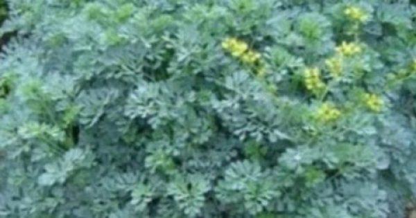 Αυτό είναι το φυτό που διώχνει τη γρουσουζιά, τη γλωσσοφαγιά και το κακό μάτι