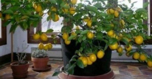 Πώς να μεγαλώσετε εύκολα μια λεμονιά από έναν μόνο σπόρο στο σπίτι σας!