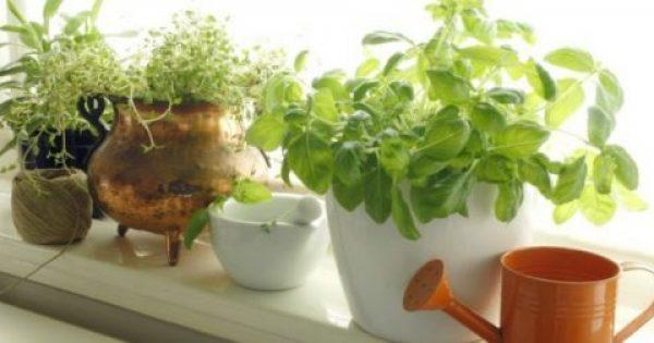 6 Φυτά που θα Διώξουν τα Κουνούπια Χιλιόμετρα Μακριά