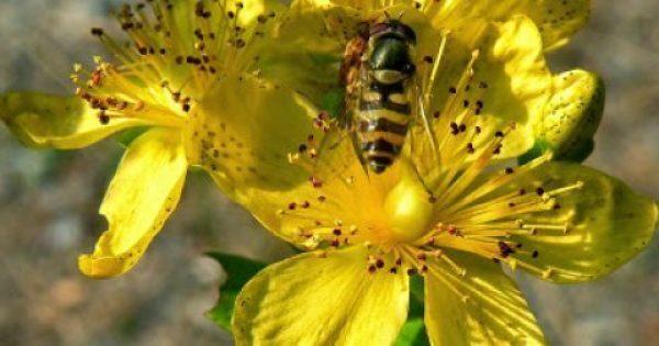 Βάλσαμο – Το φάρμακο του πολεμιστή! Οι ΘΑΥΜΑΤΟΥΡΓΕΣ ιδιότητες του μας προστατεύουν από κάθε κακό