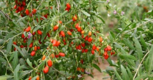 Ποιο είναι το φρούτο που σε πάει ΚΑΡΦΙ για τα 100 χρόνια..το λένε και διατροφικό διαμάντι!!!