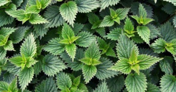 ΓΝΩΡΙΖΕΤΕ ΤΟ ΦΥΤΟ ΤΗΣ ΦΩΤΟΓΡΑΦΙΑΣ; Γνωρίστε το βότανο με τις 60 διαφορετικές θεραπευτικές ιδιότητες