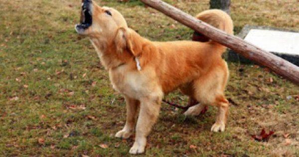Τι να κάνετε όταν ο σκύλος σας γαβγίζει επίμονα για να σταματήσει;