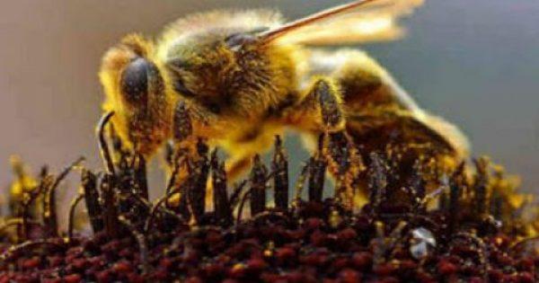 Το δηλητήριο της μέλισσας «κλειδί» για τη θεραπεία του καρκίνου;