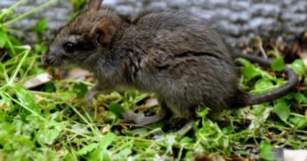 Παγκόσμιος συναγερμός! Κρούσμα με ηπατίτιδα Ε από ποντίκια σε άνθρωπο