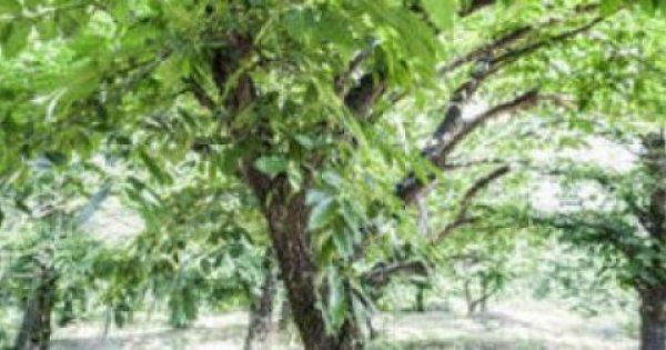 Η μεγαλύτερη επιστημονική έρευνα στα φυσικά συστατικά: Ανακαλύφθηκε το μυστικό της αντιγήρανσης στα δέντρα ενός χωριού της Αρκαδίας  (Βίντεο)