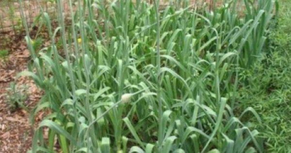 Ξεχάστε χημικά και «φιδάκια» – 6 φυτά που απωθούν τα κουνούπια