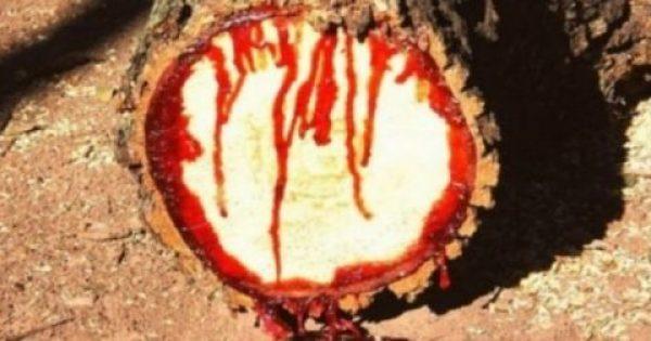 Έκοβε αμέριμνα ένα δέντρο όταν παρατήρησε ότι εκείνο… ΜΑΤΩΝΕ! Δείτε τι ανακάλυψε!