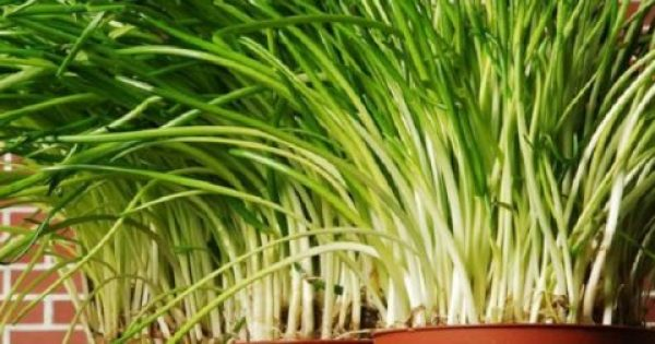 Το «μαγικό» βότανο που προστατεύει από τον καρκίνο
