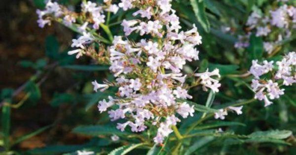 Αλτσχάιμερ: Το φυτό που σώζει!